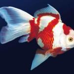 japon-baligi-resimleri-beyaz-kırmızı