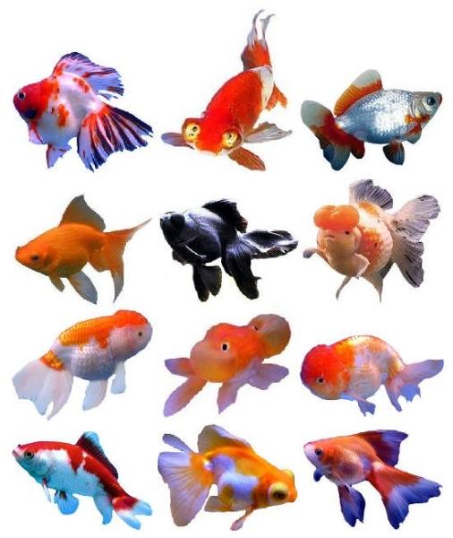 Japon bali i nasil beslen r nasil rer for Peces goldfish tipos