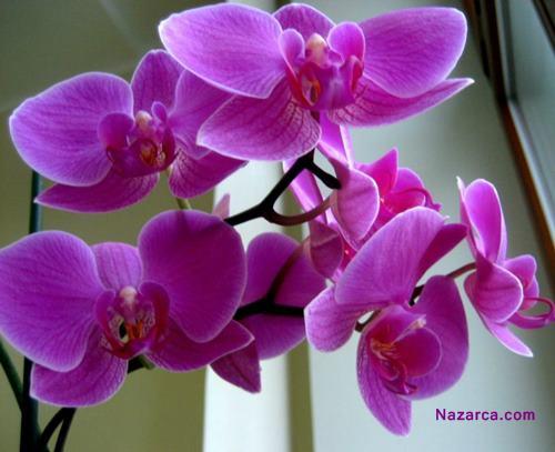 Radyant Orkide