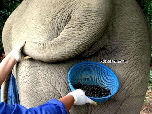 FİL KAKASINDAN DÜNYANIN EN PAHALI KAHVESİ BLACK İVORY COFFEE