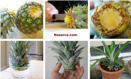 ananas-koku-yetistirme-ekimi