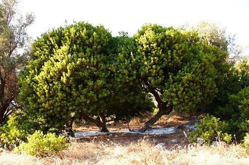Sakız- Ağacı-Koruluğu